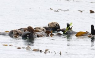 Eco-Friendly Multirotors — Keeping watch over endangered Alaskan sea otters