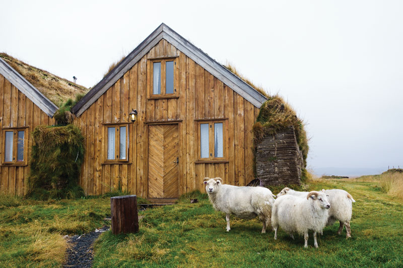 Icelandic sheep hang out by the guesthouses at Mudrudalur, Iceland.