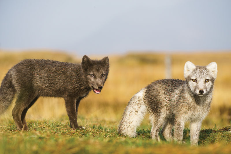 Arctic foxes (Vulpes lagopus) at Mšdrudalur guesthouse, Iceland.