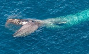 A drone view of a blue whale feeding