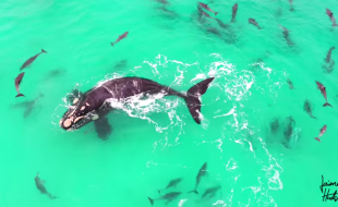 Aerial Drone Video: Whales & Dolphins