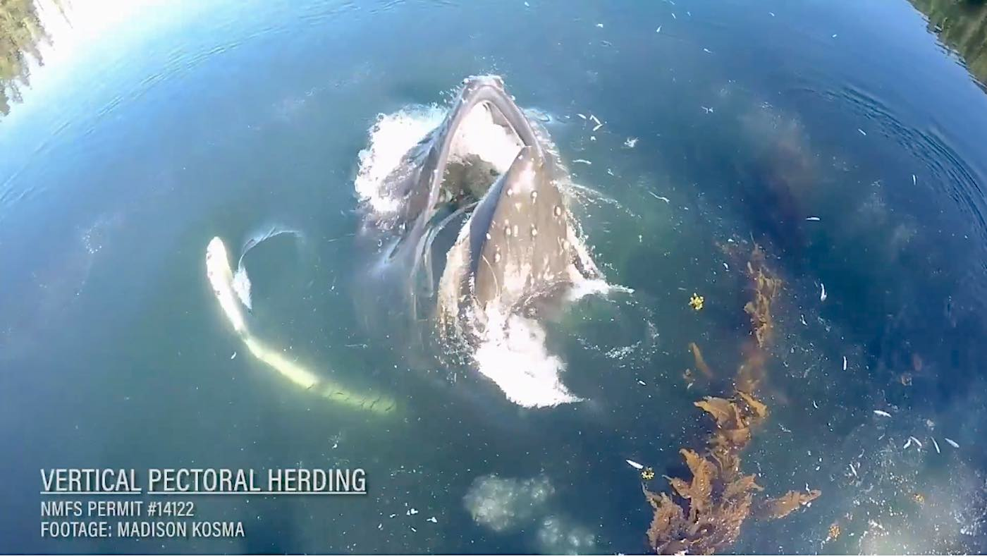 Humpback in water w title Vimeo video researcher Madison Kosma 1